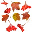 Set with viburnum berries and leaves — Stock Photo #53006811