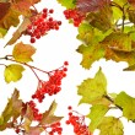 Set with viburnum berries — Stock Photo #53006815