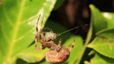 Orb weaver spider recycling it's broken web — Stock Video