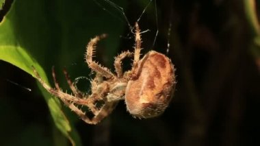Orb weaver spider recycling its old broken web — Stock Video