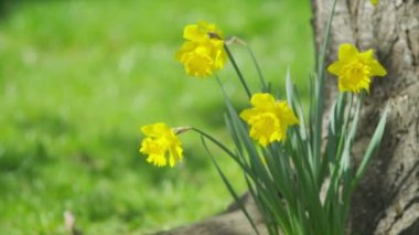 Daffodils swaying on a light spring breeze — Stockvideo