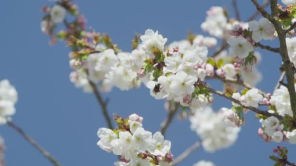 Blossoming tree in spring — Vidéo
