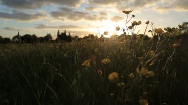 Wide view of buttercups in a meadow — Vidéo