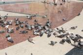 Pigeons feeding on stray bread thrown by visitors in Placa de Catalunya in Barcelona, Spain — Stock Photo