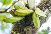 Aristolochia tagala Cham. — Stock Photo