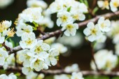 Plum blossom with white flowers. — Stock Photo