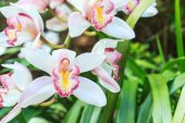 Beautiful Flower Orchid close up in garden. — Stock Photo