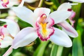 Beautiful Flower Orchid close up in garden — Stock Photo