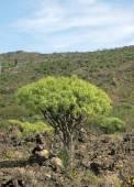 Euphorbia regis-jubae — Stock Photo