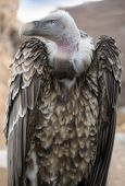 Specimen of griffon vulture, Gyps fulvus — Stock Photo