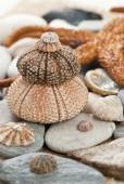 Sea urchin — Стоковое фото