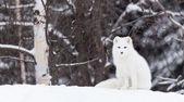 Arctic Fox in a winter scene — Stock Photo