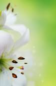 Close-up portrait of two white lilies fading into bright green background. — Stock Photo