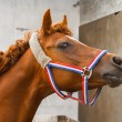 Arab siglavi horse portrait — Stock Photo #70039145