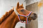 Arab siglavi horse portrait — Stok fotoğraf