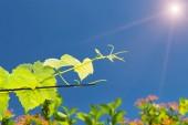 Vine reaches for the sun — Stock Photo