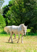 White horse on a leash on a green lawn — Stock Photo