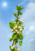 Twig blossoming pear on a background of blue sky — Stock Photo