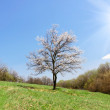 Lonely blossoming tree of apricot — Stock Photo #70793331