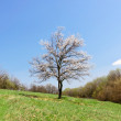 Lonely blossoming tree of apricot — Stock Photo #70793341