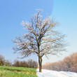 Lonely same tree in two seasons — Stock Photo #70793371
