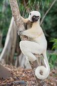 Lemur — Foto de Stock