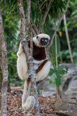 Lemur — Foto Stock