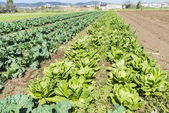 Cultivated field of lettuces and cabbages — Stock Photo