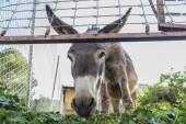 Donkey looking at camera — Stock Photo