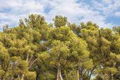 Coppe di pino — Foto Stock