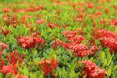 Ixora bloemen in de tuin in het park — Stockfoto