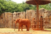 The big old elephant at the zoo. — Stock Photo