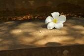 Plumeria flower on a background of rocks. — Stock Photo