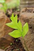 En grön ormbunke i en natur på skog — Stockfoto