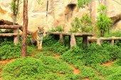 Тигры в природе в зоопарке — Стоковое фото