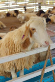 Close-up goat in the farm at the zoo. — Stock Photo