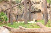 Lion in a nature at the zoo — Stock Photo