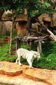 Ein Tiger in einer Natur im zoo — Stockfoto