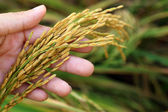 Rice spike grains in hands — Stock Photo