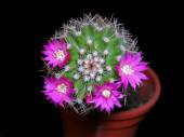 Cactus in flower — Stock Photo