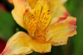 Daylily flower — Stock Photo