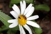 Beetles on the camomile — Stock Photo