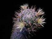 Mammillaria cactus with yellow flowers — Stock Photo