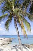 Grand Cayman Palm — Stock Photo