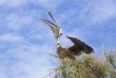 The Pelican — Stock Photo