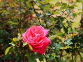 Rose on the bush — Stock Photo