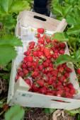 Strawberries on field 2 — Stock Photo