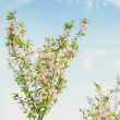 Spring flowering tree against the sky — Stock Photo #67023713