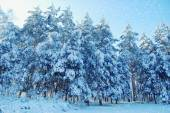 Tall pines with lots of snow — Stock Photo