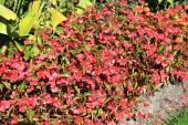 Begonia flowering — Foto Stock